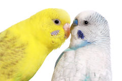 Pair of budgies, isolated on white. Background royalty free stock photo