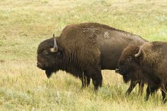 Pair of Buffalo. Male and female American buffalo in Custer State Park in the Black Hills of South Dakota. The largest land mammal in North America Royalty Free Stock Photos