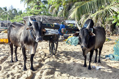 A pair of buffalo tethered to a cart on Arugam Bay beach in the early morning. Royalty Free Stock Image