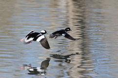 Pair of Bufflehead Ducks Flying Low Over the Water Stock Photos
