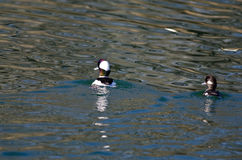 Pair of Bufflehead Ducks Swimming in the Still Pond Waters Stock Image