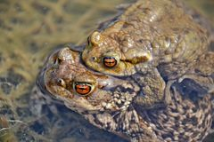 Pair of Bufo Bufo Stock Photography
