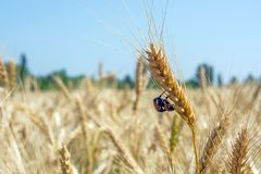 A pair of bug beetles reproduce on a spike of organic wheat grown without insecticides.  Stock Photos