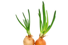 A pair of bulbs sprouted Royalty Free Stock Image