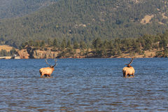 Pair of Bull Elk in Lake Stock Photos