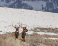 Pair of bull elk in winter Royalty Free Stock Images