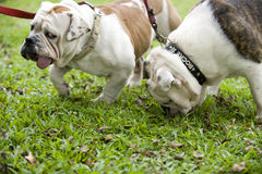 Pair of bulldog. Pair of english bulldog playing in the field with leash on their necks Stock Photos