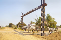 Bullock carts unmanned rail crossing Royalty Free Stock Photos