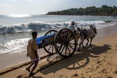 A pair of bullocks tow a cart along the beach at Arugam Bay on the east coast of Sri Lanka. A pair of bullocks tow a wooden cart along the beach at Arugam Bay Stock Photography