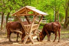 Pair Of Bulls Stock Photography
