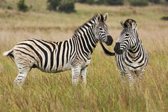 A pair of Burchell's zebras in savanna. A pair of Burchell's zebras, equus burchelli, standing in savanna grassland Royalty Free Stock Image