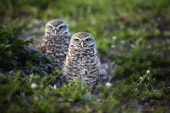 Pair of Burrowing Owls Stock Images