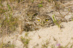 A pair of Burrowing Owls. Slowly emerge from their burrow Royalty Free Stock Photos