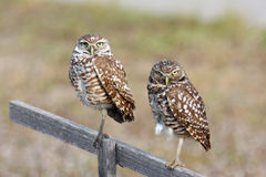 Pair of Burrowing Owls in Cape Coral, Florida. While taking my morning walks during vacation in Cape Coral, I watched a family of burrowing owls.  This burrowing Stock Photos
