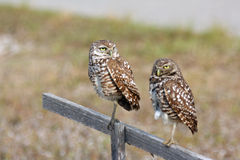 Pair of Burrowing Owls in Cape Coral, Florida. While taking my morning walks during vacation in Cape Coral, I watched a family of burrowing owls.  This burrowing Stock Photography