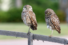 Pair of Burrowing Owls in Cape Coral, Florida. While taking my morning walks during vacation in Cape Coral, I watched a family of burrowing owls.  This burrowing Stock Images
