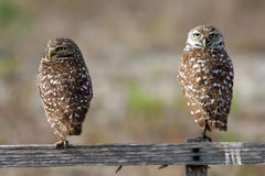 Pair of Burrowing Owls in Cape Coral, Florida. While taking my morning walks during vacation in Cape Coral, I watched a family of burrowing owls.  This burrowing Royalty Free Stock Photo