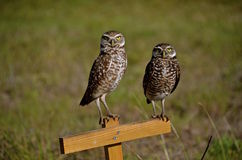 Pair of Burrowing owls Stock Photo