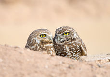Pair of Burrowing Owls. Sitting in their Nest Hole Stock Photo