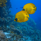 A pair of Buterfly fishes. The bluecheek butterflyfish (Chaetodon semilarvatus) two yellow fish in front of beautiful coral reef underwater royalty free stock photos