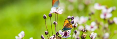 Pair of butterflies collects nectar and pollen from a flower on a blurred green background on a sunny day. Web banner for your design stock photo