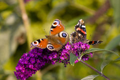 Pair of butterflies on a flower. Bloom Royalty Free Stock Photos
