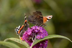 Pair of butterflies on a flower bloom Stock Photo