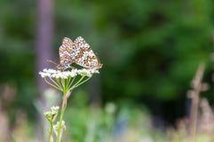Pair of butterflies on a flower Stock Photo