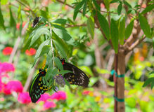 A pair of butterflies hanging together from a branch. Two black and multi-colored butterflies hang across from each other on a branch with pink flowers behind Royalty Free Stock Photo