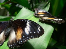 Pair of butterflies on leaf. Pair of colorful butterflies basking on green leaf stock images