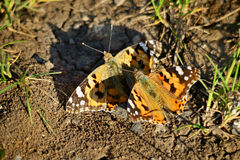 Pair of butterflies Stock Images