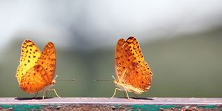 Pair of butterflies with yellow spotted wings Royalty Free Stock Photography