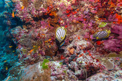 Pair of Butterfly Fishes in Coral Reef, Maldives Royalty Free Stock Photo