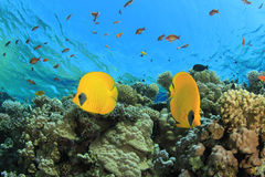 Pair of Butterflyfish Royalty Free Stock Images