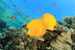 Pair of Butterflyfish Royalty Free Stock Image