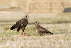 Pair of buzzards Royalty Free Stock Photos