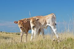 Pair of calves Stock Images
