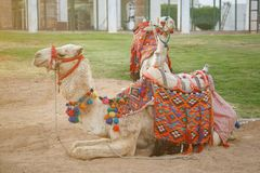 Pair of camels with beautiful multi-colored saddles lie on the sand in one of the cities of Egypt.  stock photo