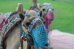 A pair of camels with a net on the face are walking on the lawn stock photography