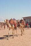 A pair of camels Stock Photography