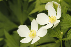Pair of Canada Anemones Blooming in Spring Stock Photo