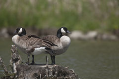 Pair of Canada Geese Royalty Free Stock Image