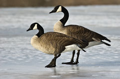Pair of Canada Geese Stock Photo