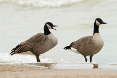 Pair of Canada Geese on a Beach Stock Image