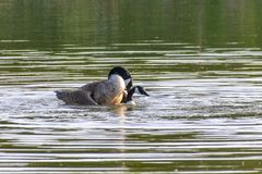 A pair of canada geese branta canadensis mating in spring. On a still calm lake stock photos