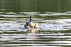 A pair of canada geese branta canadensis mating in spring. On a still calm lake stock photo