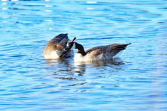 Canada Geese Courting in mid-lake. A Pair of Canada Geese courting each other royalty free stock photo