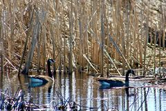 Pair of Canada Geese floating on water in marshland. Stock Image