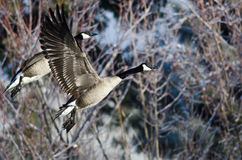 Pair of Canada Geese Flying Across the Snowy Winter Terrain Royalty Free Stock Image