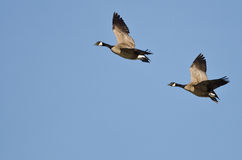 Pair of Canada Geese Flying in a Blue Sky Royalty Free Stock Photo